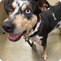 Adopt A Pet :: Jolie - Belle Chasse, LA