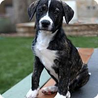 Adopt A Pet :: Harry - Dallas, TX