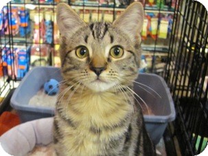 Domestic Shorthair Kitten for adoption in Diamond Bar, California - SKECHER