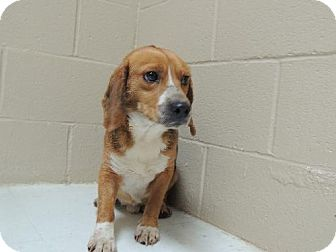 Beagle Dog for adoption in Nanuet, New York - Benji