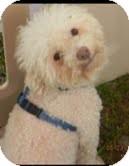 Bichon Frise/Poodle (Miniature) Mix Dog for adoption in Boulder, Colorado - Jake-ADOPTION PENDING