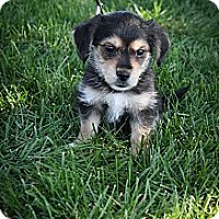 Adopt A Pet :: Bonnie - Broomfield, CO