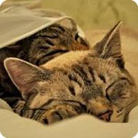 Adopt A Pet :: Ash - Harrisburg, NC