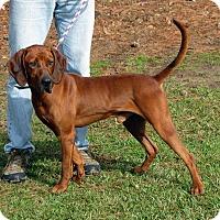 Adopt A Pet :: Sir Newton - Atlanta, GA