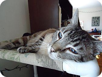 Siamese Cat for adoption in Central Islip, New York - Romeo