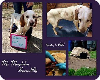 Treeing Walker Coonhound Mix Dog for adoption in Washington, Pennsylvania - Magdelene Specadilly