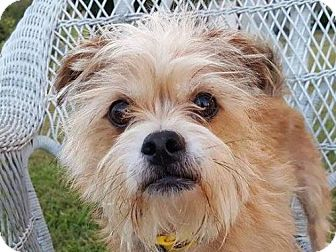 Shih Tzu/Yorkie, Yorkshire Terrier Mix Dog for adoption in Nanuet, New York - Jax - ADOPTED