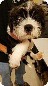 Boston Terrier/Terrier (Unknown Type, Medium) Mix Puppy for adoption in Joplin, Missouri - Leonardo 110683
