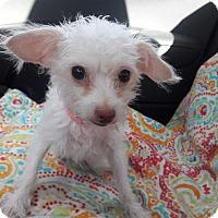 Adopt A Pet :: Lamb - Las Vegas, NV