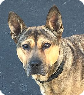 Shepherd (Unknown Type) Mix Dog for adoption in Cincinnati, Ohio - Maize