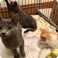 Adopt A Pet :: Mr Gray - Colmar, PA