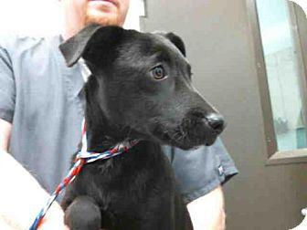 Labrador Retriever Mix Dog for adoption in Tulsa, Oklahoma - LACY
