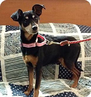 Miniature Pinscher Dog for adoption in Winfield, Pennsylvania - MP5 Salvadore