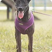 Adopt A Pet :: Luna - San Mateo, CA
