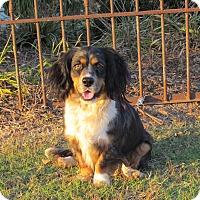 Adopt A Pet :: BEAU - Bedminster, NJ