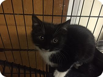 Domestic Shorthair Kitten for adoption in Forest Hills, New York - Rhonda