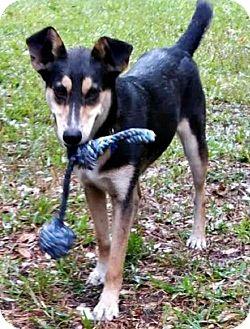 Australian Kelpie/Italian Greyhound Mix Dog for adoption in Bradenton, Florida - Cara