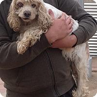 Adopt A Pet :: MUFFIN - Toluca Lake, CA