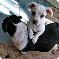 Adopt A Pet :: Adora - San Diego, CA