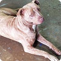 Adopt A Pet :: Farrah - Conroe, TX