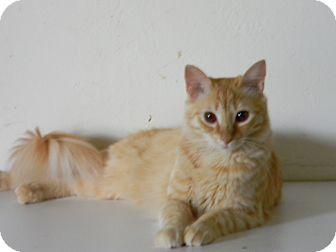 Domestic Longhair Cat for adoption in Bonita Springs, Florida - Dallas