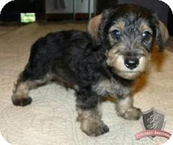Schnauzer (Standard)/Yorkie, Yorkshire Terrier Mix Dog for adoption in Sacramento, California - Schnorkums
