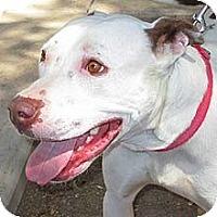 American Staffordshire Terrier Mix Dog for adoption in Phoenix, Arizona - Mandy