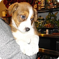 Adopt A Pet :: Sweetheart Puppies - Hamilton, ON