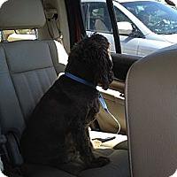 Adopt A Pet :: Sierra - Surprise, AZ