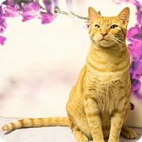 Domestic Shorthair Cat for adoption in Houston, Texas - Rupert