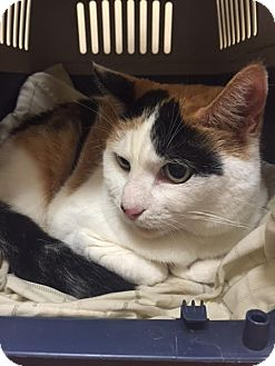 Calico Cat for adoption in Brooklyn, New York - Precious