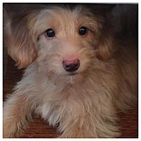Adopt A Pet :: Maggie - West LA, CA