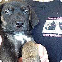 Adopt A Pet :: ROSEBUD LITTER 10 - Pompton Lakes, NJ
