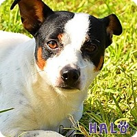 Jack Russell Terrier Dog for adoption in Sebastian, Florida - Chong