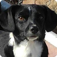Adopt A Pet :: Sylvester - Arenas Valley, NM