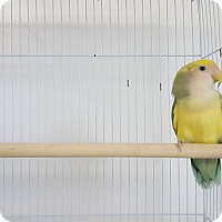 Adopt A Pet :: Ariel - Grandview, MO