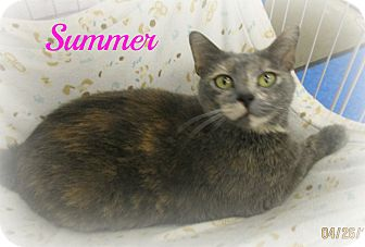 American Shorthair Cat for adoption in Melbourne, Kentucky - Summer