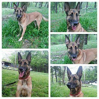 Belgian Malinois Dog for adoption in Louisville, Kentucky - William