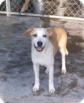Black Mouth Cur/Labrador Retriever Mix Puppy for adoption in Bonifay, Florida - Bobby