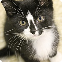 Adopt A Pet :: Tomm - Medina, OH