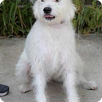 Adopt A Pet :: Lily - Plano, TX