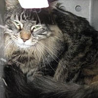 Domestic Shorthair Cat for adoption in Roseville, California - Bast