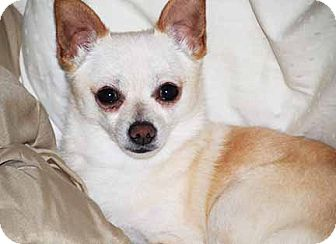 Chihuahua Dog for adoption in South Bend, Indiana - Augie