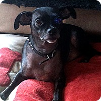 Chihuahua/Miniature Pinscher Mix Dog for adoption in Vista, California - Kutcher