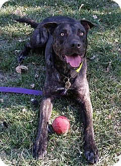 Dutch Shepherd/American Pit Bull Terrier Mix Dog for adoption in Manteca, California - Conner