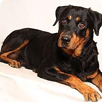 Adopt A Pet :: Diva Rottie - St. Louis, MO