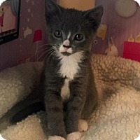 Domestic Shorthair Kitten for adoption in Sacramento, California - Boo