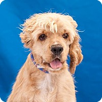 Cocker Spaniel Mix Dog for adoption in Los Angeles, California - DANNIE