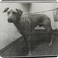 Adopt A Pet :: Fonzi - Las Vegas, NV
