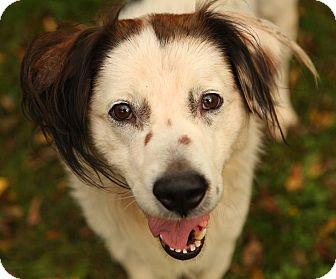 Spaniel (Unknown Type)/Spitz (Unknown Type, Medium) Mix Dog for adoption in Lafayette, Indiana - Ripley